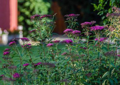 Spirea japonica, Japán gyöngyvessző, lila virág, dekoratív kert, hangya kert, kertfenntartás, kertépítés, fűnyírás